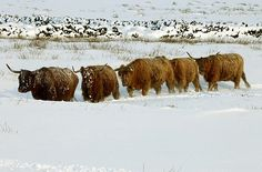 More Snow hits the UK: Highland cows make their way through the snow Places In Scotland, Scotland Castles, Scotland Travel, Scotland Country, Process Of Evolution, Celtic Nations, Weather Snow, Highland Cattle, Snow Pictures