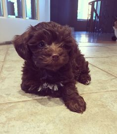 Chocolate Brown  Maltipoo Puppy