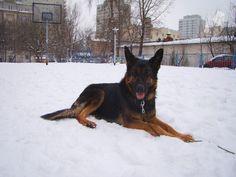 Rasa: Owczarek Niemiecki MIX | Płeć: Pies | Wiek: 2,5 roku | Wszelkie informacje: 513 95 81 80
