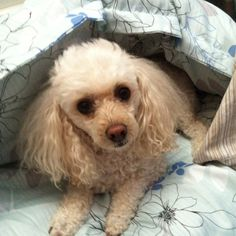 Bella the toy poodle