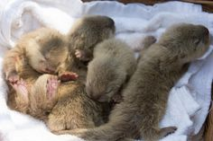 A Basket of Newborn Otter Pups More at today's Daily Otter...