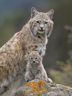 Bobcat (Lynx Rufus) Mother and baby kitten.