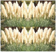 18 oz 12250 seeds WHITE PAMPAS GRASS seeds ORNAMENTAL  DECOR  Perennial In Zones 7  10 >>> Find out more about the great product at the image link.