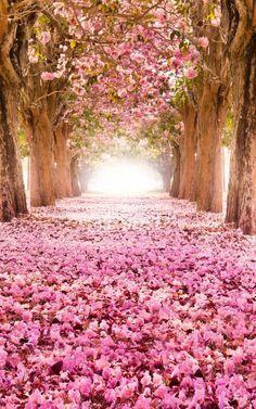 """Tabebuia rosea"" trees in blossom in Nakhon Pathom, Thailand."