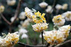 Edgworthia Chrysanthia