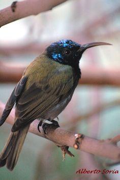 Bannerman's Sunbird (Cyanomitra bannermani)