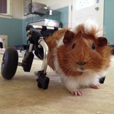 cochon d'inde fauteuil roulant