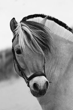 Fjord Horse. I want one for my future daughter. So stinkin cute.