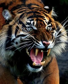 Sumatran Tiger - Looking Particularly Angry! Wouldn't Want To Run Into Him On A Dark Gotham Street!!