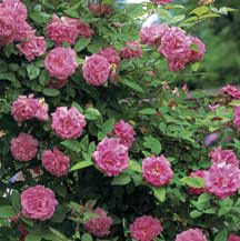 Zephirine Drouhin climbing rose, which either smells like rose and citrus or like raspberry depending on what source you read.  I'm getting two for the new house's front porch.