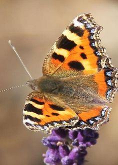 Butterfly by Livvy Shelbourn Butterflies Flying, Beautiful Butterflies, Moth Caterpillar, Mouths, Animal Pics, Ladybugs, Hummingbirds, Dragonflies, Butterfly