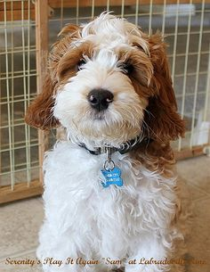 7 Best Parti Labradoodles images in 2014   Labradoodle, Dogs