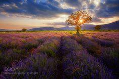 Lavender sunset by KrasimirPetrov #Landscapes #Landscapephotography #Nature #Travel #photography #pictureoftheday #photooftheday #photooftheweek #trending #trendingnow #picoftheday #picoftheweek