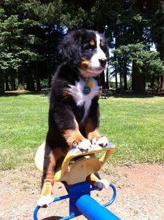 "Bernese Mountain puppy - 2012 ""Cute Pets"" photo contest winner"