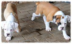 O Buldogue Campeiro tem sua origem  nos Bulldogs. Cão de temperamento vigilante e tranquilo, com acentuado espírito de luta e companheirismo. filhotes a venda