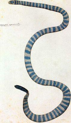 Annulated Sea Snake