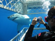 The Great White can be found all along the coastline of South Africa. There are areas such as Gansbaai to practice the great white shark diving in cages. Great White Shark Diving, Shark Cage, Fauna Marina, Cape Town Hotels, Nature Sauvage, The Great White, Shark Week, Koh Tao, Oh The Places You'll Go