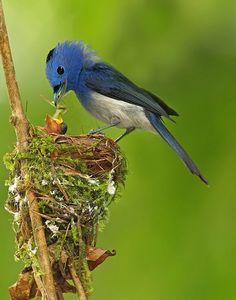 Black-naped Blue Flycatcher Join us >>The world of birds Pretty Birds, Beautiful Birds, Animals Beautiful, Cute Animals, Wild Animals, Baby Animals, Beautiful Pictures, Kinds Of Birds, All Birds