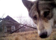 Wolf kijkt in camera in het door mensen verlaten gebied rond Tsjernobyl.