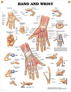 Hand and Wrist anatomy poster provides views of cross section of wrist, carpal tunnel syndrome, various types of fractures.