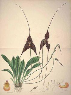 Woolward, F.H., Lehmann, .FC., The genus Masdevallia, t. 60 (1896)