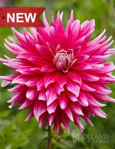 """AC Dark Horse Dahlia is a dinnerplate type dahlia, that can have blooms up to 10"""" in diameter. Ac Dark Horse Dahlia is adds a bright flair to cut flower arrangements."""