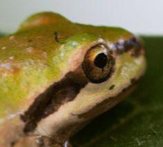 Pacific Tree Frog, garden, evening primrose