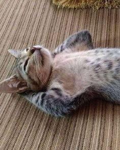 people are boring - your daily dose of funny cats - cute kittens - pet memes - pets in clothes - kitty breeds - sweet animal pictures - perfect photos for cat moms Cute Funny Animals, Funny Animal Pictures, Cute Baby Animals, Animals And Pets, Funny Cats, Lazy Animals, Cute Cats And Kittens, Cool Cats, Kittens Cutest