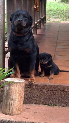 #Rotty #Dog and her #puppy