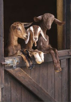 * It's the Three Billy Goats Gruff just much cuter. (otf)