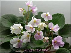 African Violet 'Wizard's Froststrike' - I couldn't find a photo of this online but this one is pretty close. Plants or leaves may be available.