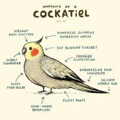 sophiecorrigan: Anatomy of a Cockatiel