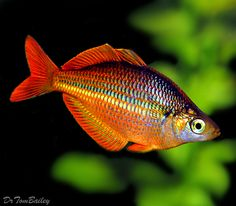 Banded Rainbowfish, Melanotaenia trifasciata - one of the many colour variants.