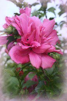 Tree Rose Of Sharon
