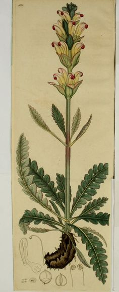 v.8 - Svensk botanik. - Biodiversity Heritage Library - 1810s