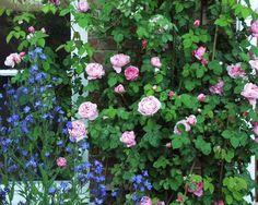Constance Spry Rose - klatrerose Climbing Rose