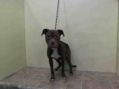 TO BE DESTROYED - 03/21/15 Manhattan Center -P  My name is MANDY. My Animal ID # is A1028680. I am a female brown and white pit bull mix. The shelter thinks I am about 1 YEAR 1 MONTH old.  For more information on adopting from the NYC AC&C, or to  find a rescue to assist, please read the following: http://urgentpetsondeathrow.org/must-read/
