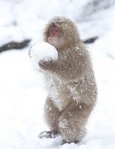 Japanese monkey in Jigokudani, Nagano (Snow fight! He looks like he has a furry snowsuit on! Primates, Cute Creatures, Beautiful Creatures, Animals Beautiful, Cute Baby Animals, Animals And Pets, Funny Animals, Wild Animals, Animals In Snow