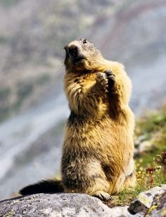 Colossale marmotte Valaisanne :-) Groundhog Pictures, Majestic Animals, Bugs And Insects, Effigy, Fauna, Brown Bear, Polar Bear, Reptiles, Lions