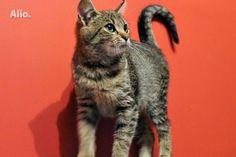DOVANOJU mielą, sterilizuotą 4,5 mėn. katytę