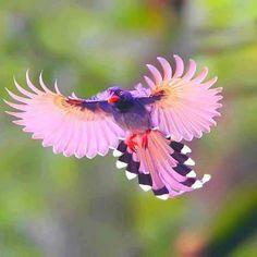 Taiwán Blue magpie, tomado de 1,000,000 pictures