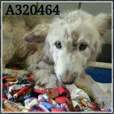 Lola- 320464   **PAST DEADLINE! We Need a Commitment by 5P the Pet Picked Up by 6:30P Friday 2/6!** San Antonio, TX *Urgent! At Risk of Euthanasia To adopt, foster, or rescue, please email: placement@sanantoniopetsalive.org https://www.facebook.com/236899813079211/photos/a.577525332349989.1073742672.236899813079211/577525425683313/?type=1&theater