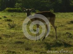 A view of a female Impala grazing on grassland in the afternoon. Elephant Images, African Animals, Zebras, Impala, Giraffe, Female, Felt Giraffe, Giraffes, Impalas