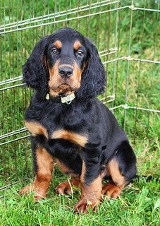 Puppy Face / Gordon Setter / dogs