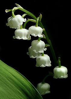 Lily of the Valley.  Love this dainty little plant. When do we plant these bulbs?