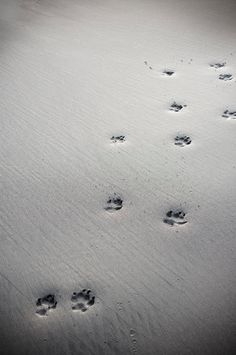 dog's paw prints in sand. beach, b/w photograph, black and white