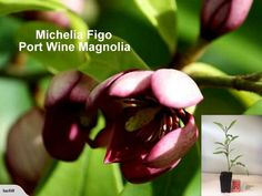 port wine magnolia flowers | MICHELIA FIGO Port Wine Magnolia X 50 PLANTS | Trade Me