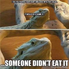 The Bearded Dragon Diet - 7 Top Foods - Exotic Bearded Dragons Bearded Dragon Funny, Bearded Dragon Cage, Bearded Dragon Habitat, Cute Reptiles, Reptiles And Amphibians, Funny Lizards, Funny Animal Pictures, Cute Funny Animals, Funny Pets