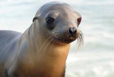 A vida das focas Quando as focas não estão caçando, elas ficam em grupos de dezenas de animais, geralmente esticadas sobre as rochas.