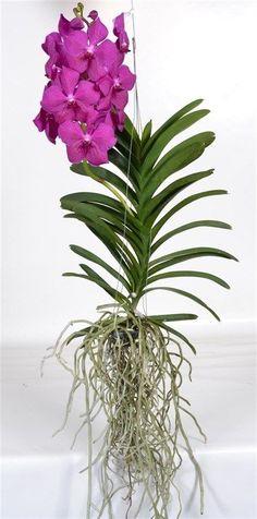 розовая ванда орхидея